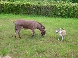 gafunkyfarmhouse this n that thursdays animal themed gafunkyfarmhouse on the homefront our very own dog and donkey show