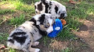 australian shepherd x corgi player u0027s female mini toy aussie puppies at lindsey u0027s aussies youtube