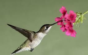 hummingbird flowers hummingbird flight flower flowers nectar wallpaper 1920x1200