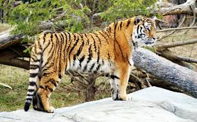 tiger widescreen hd wallpapers hd wallpapers