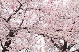 pink cherry blossom tree photograph by ariane moshayedi