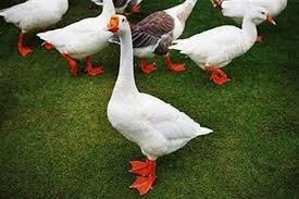 ducks recommendation raising ducks guide