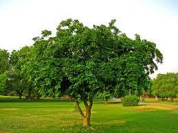trees of pakistan pakistan