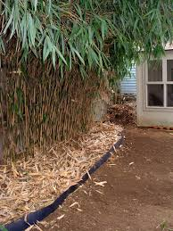 bamboo care and maintenance a guide for growing and controlling
