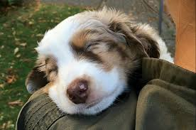 australian shepherd pictures 17 reasons australian shepherds are the worst possible breed of