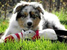 australian shepherd 5 months blue bella we have a 1 year old mini aussie who is of course