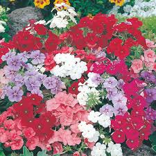 phlox flower phlox beauty mixed flower seeds d t brown flower seeds