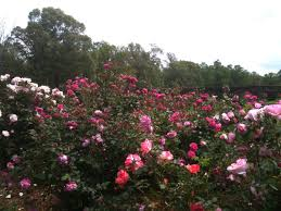 Patio Tree Rose by What Is The Proper Spacing When Planting Roses Fine Gardening