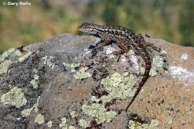 Backyard Reptiles Northwestern Fence Lizard Sceloporus Occidentalis Occidentalis
