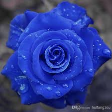 blue roses for sale 2017 colourful rainbow seeds purple black white pink