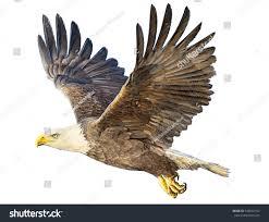 bald eagle winged flying hand draw stock illustration 540542104