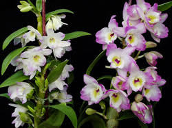 White Dendrobium Orchids All About Dendrobium Orchids And How To Grow Them