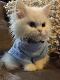 does kitty u0027s blue top bring out the color of her eyes kittens