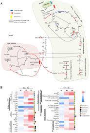 Rpi Map Post Transcriptional Regulation Of Carbon And Nitrogen Metabolism