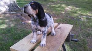 bluetick coonhound puppies for sale female 1 jpg