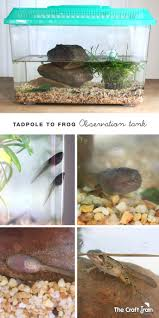 a tadpole to frog observation tank the craft train