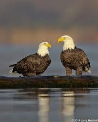 union bay immature eagle near 520
