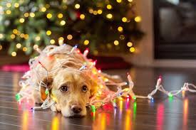dog christmas 7 pet friendly decorating tips american kennel club
