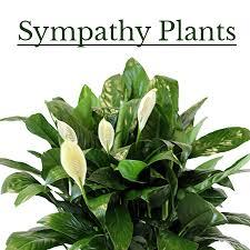sympathy plants sympathy plants jpg