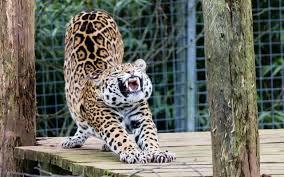 jaguar animal hd wallpapers 9 jaguars animal report