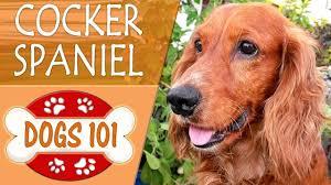 imagenes de english cocker spaniel dogs 101 english cocker spaniel top dog facts about the english