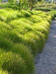 growing australian native plants lomandra saw these in redding and they are the most lovely