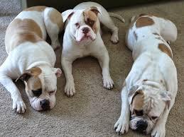 serena parker afghan hound judge american bulldog fun animals wiki videos pictures stories