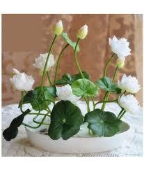 lotus flower seeds