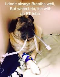 Vet Tech Memes - dogs centre pugs going down the tubes