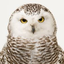 snowy owl national geographic