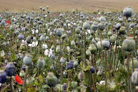 Opium by 10 Years And 7 Billion Couldn U0027t Kill Afghan Opium