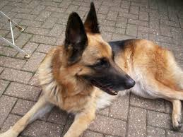 belgian shepherd tervuren 101 dog adoptions archives page 89 of 101 german shepherd rescue elite
