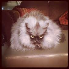 Colonel Meow Memes - colonel meow is the world s angriest cat 15 pics amazing creatures