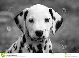 dalmatian puppy portrait stock photography image 10524552