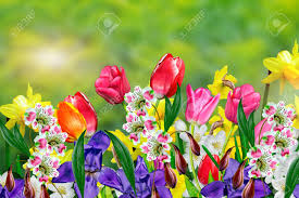 image of spring flowers spring flowers daffodils and tulips stock photo picture and
