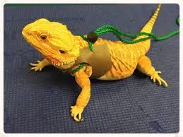 bearded dragon u2014 creatures animal clinic