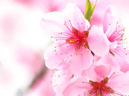 cherry blossom background powerpoint backgrounds for free