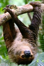 4 toed sloth sloth facts for adults pictures information