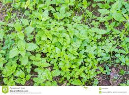 Grow Vegetable Garden by Mint Plant Grow At Vegetable Garden With Soil Stock Photo Image