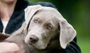 silver labs the facts about silver labrador retrievers
