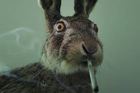 rabbit rabbit stoned rabbits the dea s fear mongering tactic