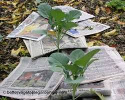 using paper mulch in and around the vegetable garden