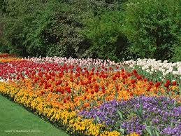 flower spring garden england grass blue tulips pansys greens