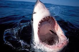 cape cod sharks google search sladee pinterest shark