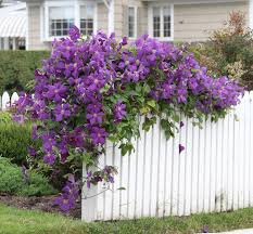 Trellis For Clematis Vines Ideas Clematis Jackmanii Clematis Gardens And Yard Ideas