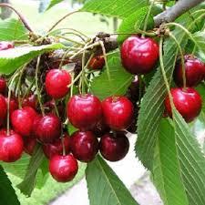 lapins cherry fruit trees scotplants direct