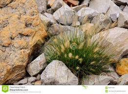 ornamental grass and rock garden stock photo image 56661269