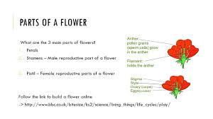 Life Cycle Of A Flowering Plant - the life cycle of flowering plants gloria varela 4 th grade ppt