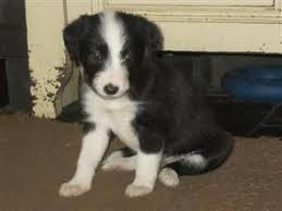 bearded collie adoption whippet x bearded collie puppies welshpool powys pets4homes