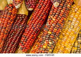 indian corn at farmers market calico corn flint corn stock photo